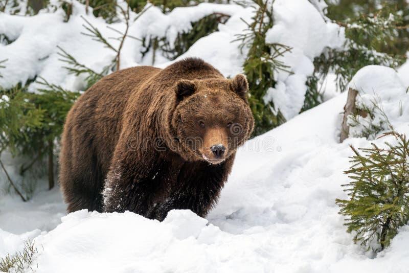 Wilde bruine beer in het winterbos royalty-vrije stock foto's