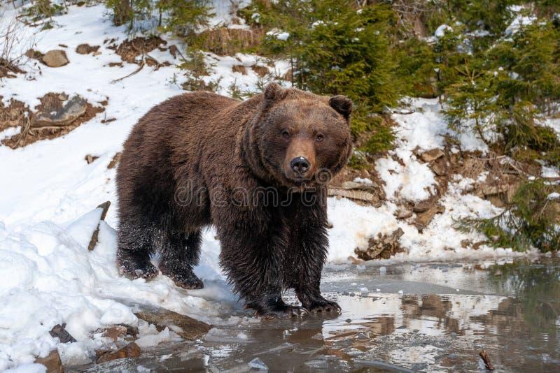 Wilde bruine beer nabij een bos meer stock foto