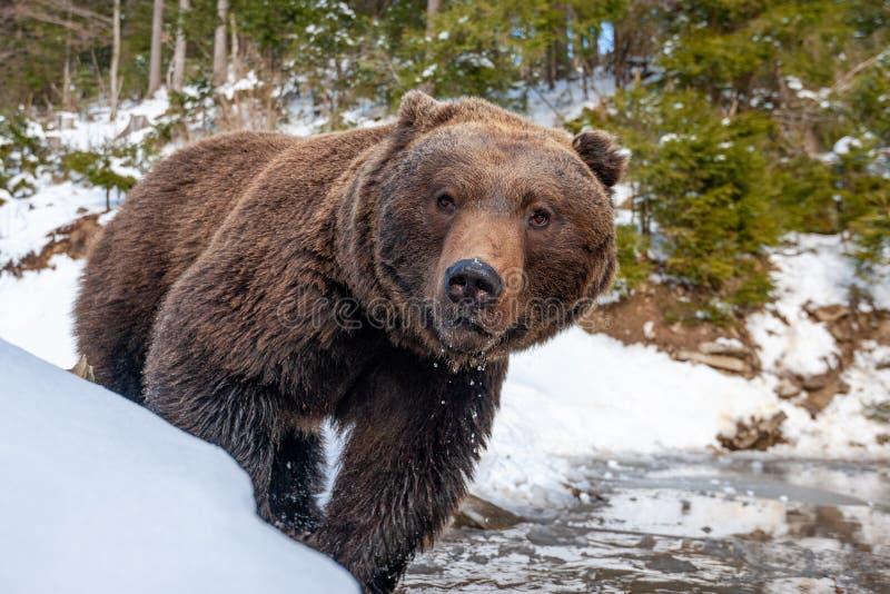 Wilde bruine beer nabij een bos meer royalty-vrije stock foto's