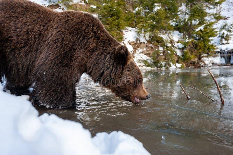 Wilde bruine beer nabij een bos meer royalty-vrije stock afbeelding