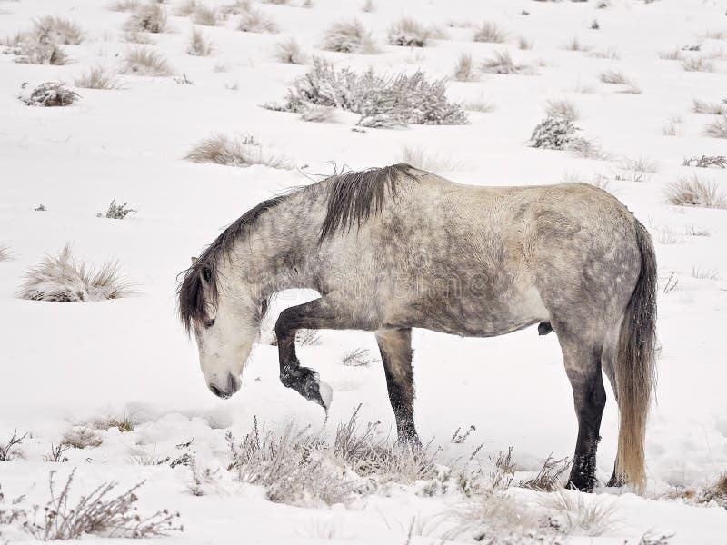 Wilde Brumby (Paard) in de Jacht van Australië voor voedsel door de sneeuw stock foto