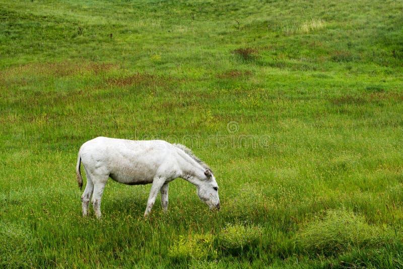 Wilde Burro in de Zwarte Heuvels stock foto's