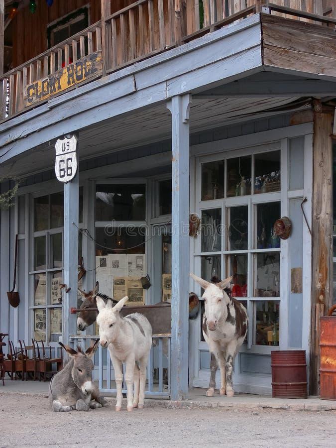 Wilde Burros entlang Weg 66 in Oatman Arizona lizenzfreie stockbilder