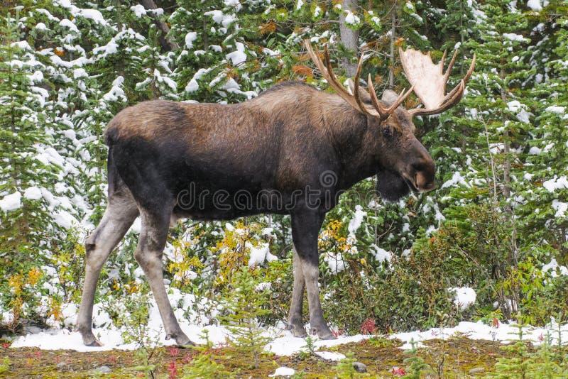 Wilde Canadese Amerikaanse elanden (Alces alces) royalty-vrije stock foto