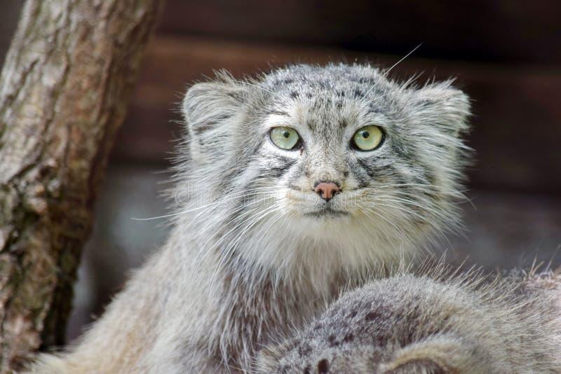 Wilde Cat Otocolobus Manul Watching Closeup stockfotografie