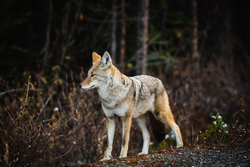 Wilde Coyote royalty-vrije stock afbeeldingen