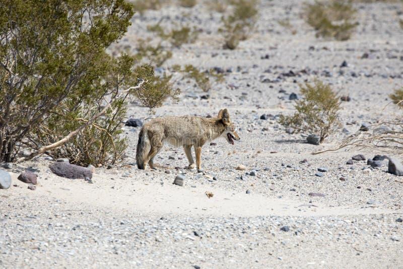 Wilde coyote in doodsvallei stock afbeeldingen