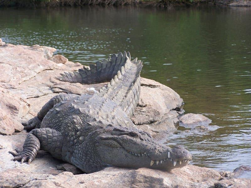 Download Wilde croc stock foto. Afbeelding bestaande uit wachten - 46188