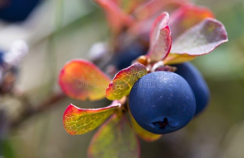 Wilde crowberry stock afbeeldingen