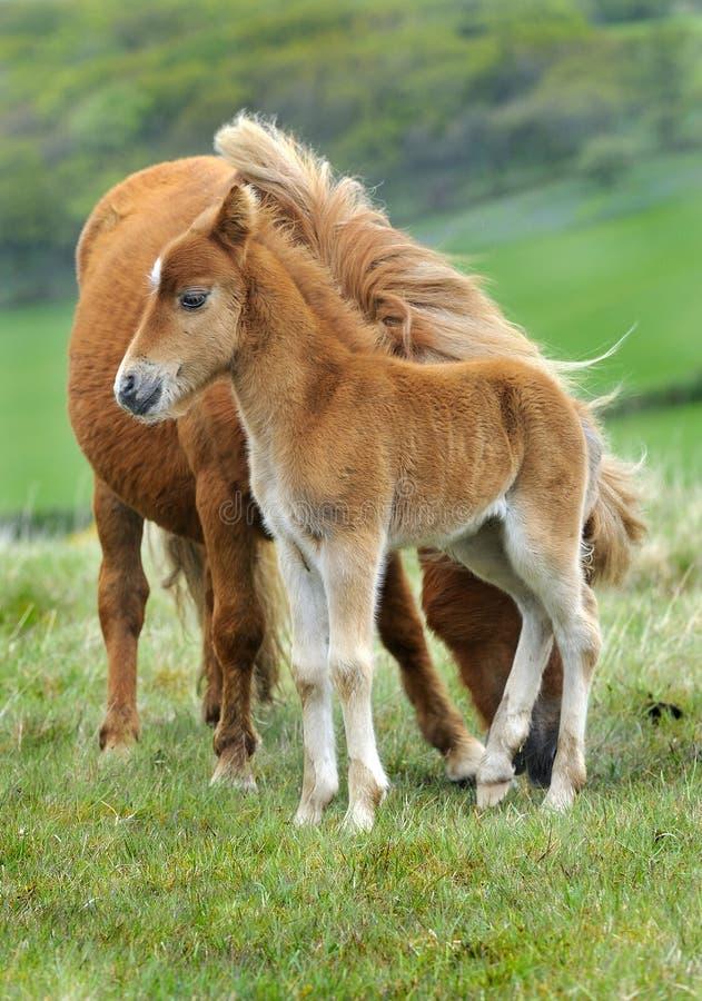 Wilde Dartmoor Mutter und Fohlen. stockfotografie
