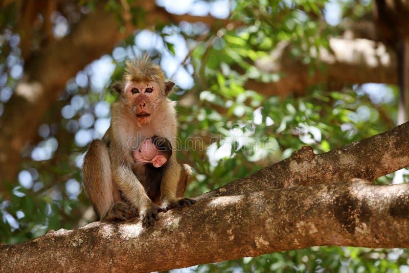 Wilde de hoedenaap van Ceylon in Sri Lanka stock afbeelding