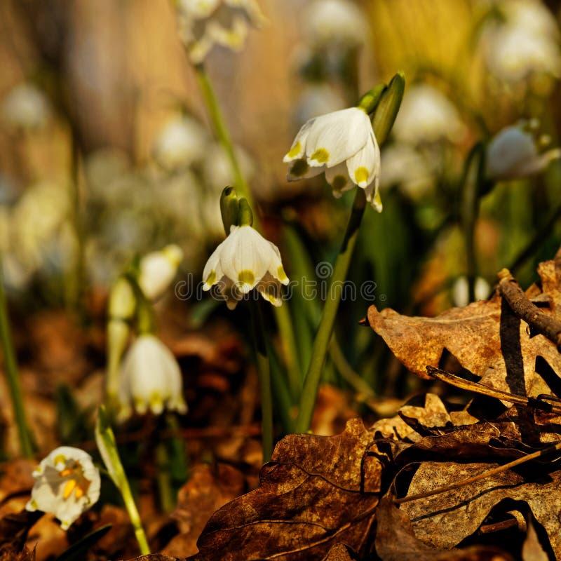Wilde de lentesneeuwvlokken in een bos royalty-vrije stock foto's