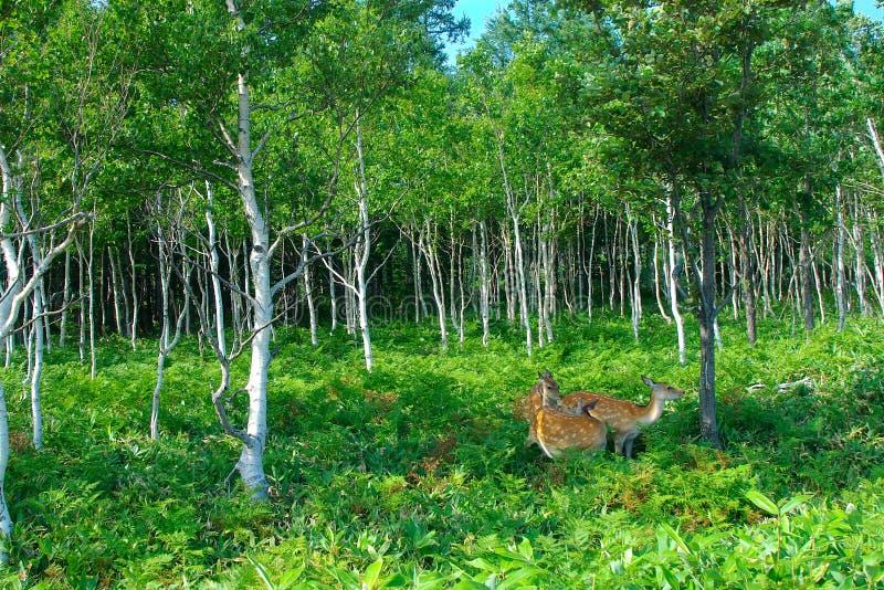 Wilde deers in het hout stock foto's