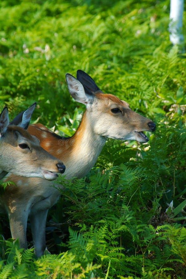 Wilde deers op het gebied stock afbeelding