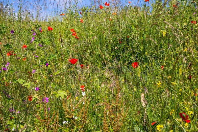 Wilde dichte omhooggaand van de bloemweide E Het struikgewas van het Bloomimggras stock afbeelding