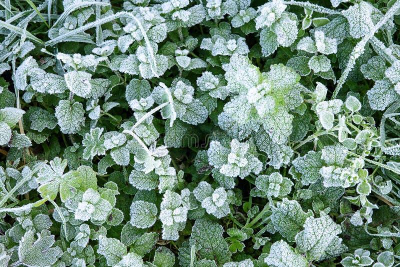 Wilde die pepermunt met witte hoar vorst en ijskristalvorming wordt behandeld De Achtergrond van de Aard van de winter stock foto