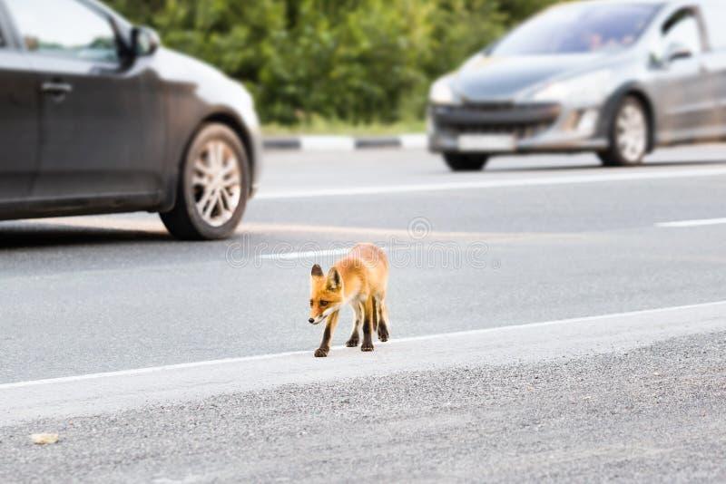Wilde die vos over weg in werking wordt gesteld Voswelp op zoek naar voedsel stock afbeelding