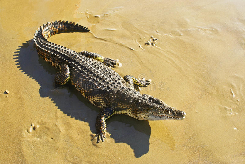 Wilde dierlijke krokodil. royalty-vrije stock foto