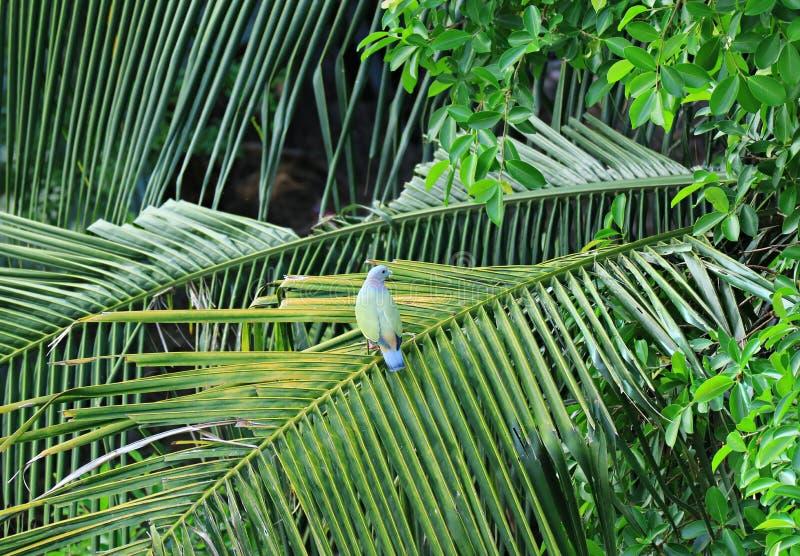 Wilde dik-Gefactureerde Groene Duif die op het Kokospalmblad neerstrijken, Thailand royalty-vrije stock foto's