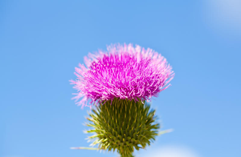 Wilde distel met roze bloem op blauwe hemelachtergrond stock fotografie
