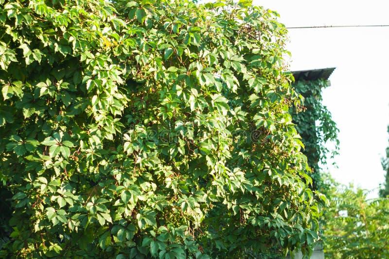 Wilde druiven op de achtergrond van oude houten deuren in de herfst royalty-vrije stock foto