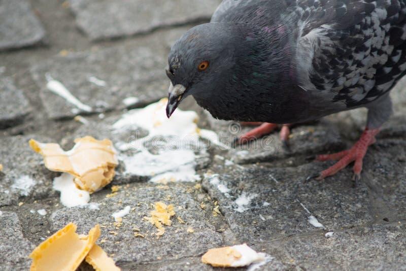 Wilde duif/Columba livia-domestica in Londen, Engeland, die een roomijs eten dat somebody ter plaatse heeft gelaten vallen stock afbeeldingen