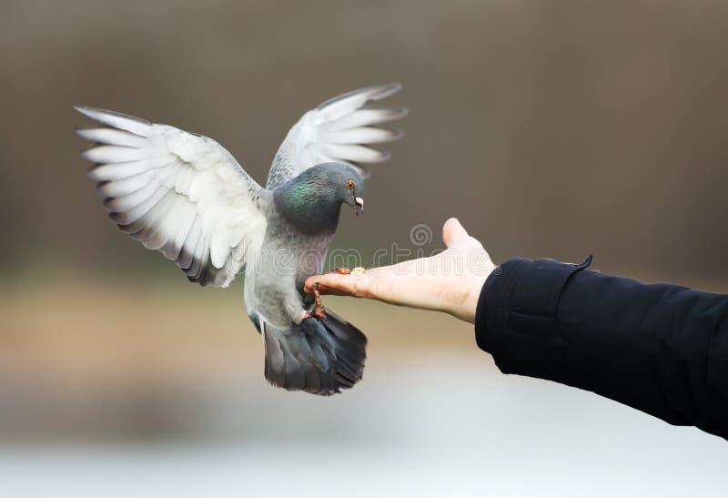 Wilde duif die van hand eten stock fotografie