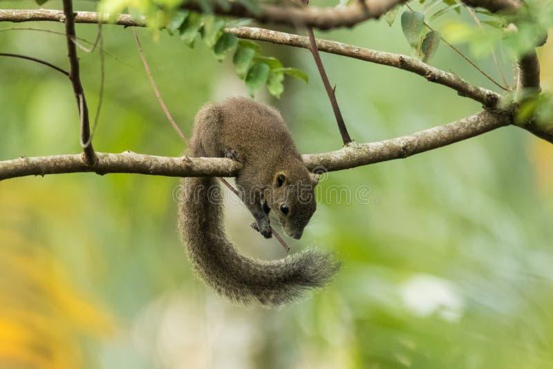 Wilde eekhoorn royalty-vrije stock foto
