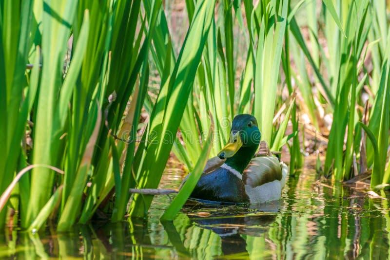 Wilde eend of Wilde Duck Anas-platyrhynchos die in vijver zwemmen royalty-vrije stock afbeelding