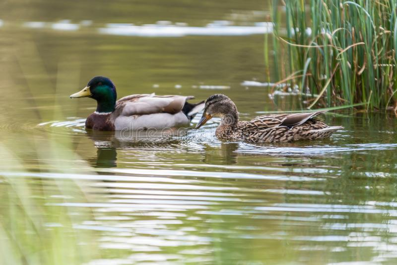 Wilde eend Duck Drake stock afbeelding