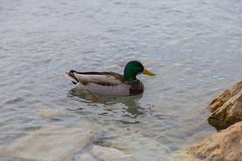 Wilde eend Duck Drake royalty-vrije stock afbeelding
