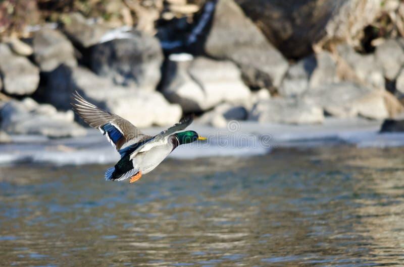 Wilde eend Duck Flying Over de Bevroren de Winterrivier royalty-vrije stock fotografie