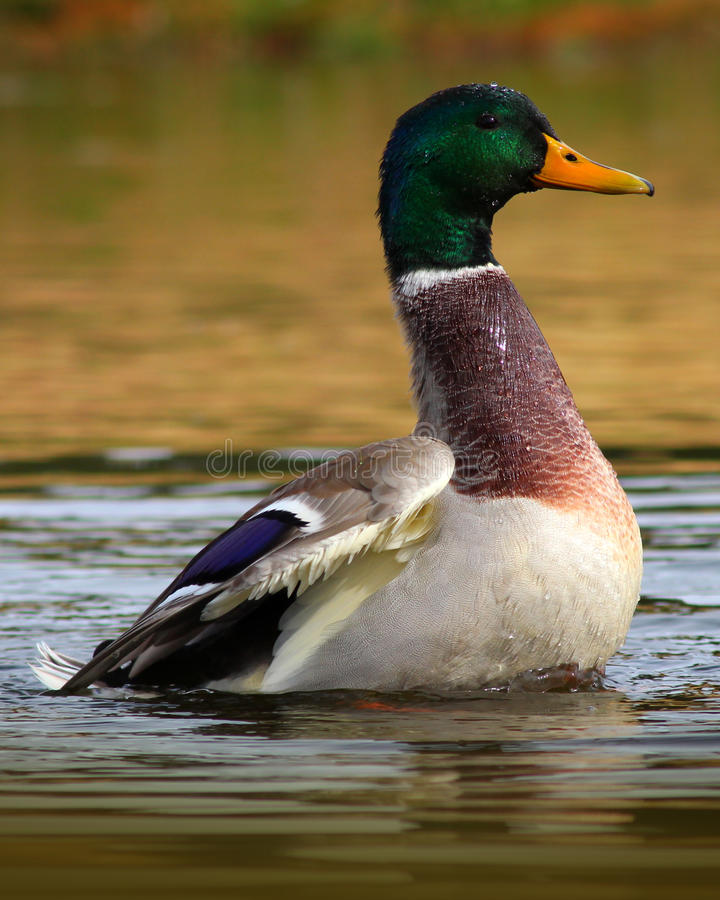Wilde eend Duck Raising uit het Water stock fotografie
