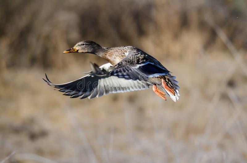 Wilde eend Duck Taking aan Vlucht stock afbeeldingen