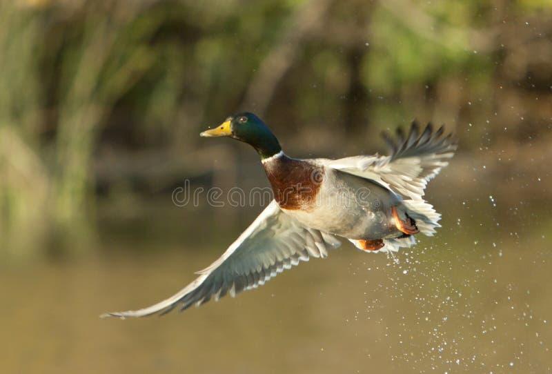 Wilde eend Duck Taking Off stock afbeeldingen