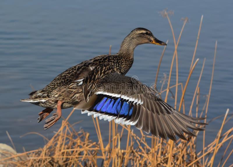 Wilde eend Duck Taking Off royalty-vrije stock foto's