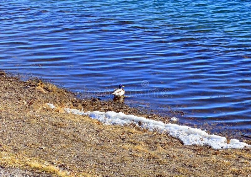Wilde wilde eend migrerende die eenden worden tegengehouden om op de rivierbank te rusten Oost-Siberi?, de Angara-Rivier lat eend royalty-vrije stock foto's