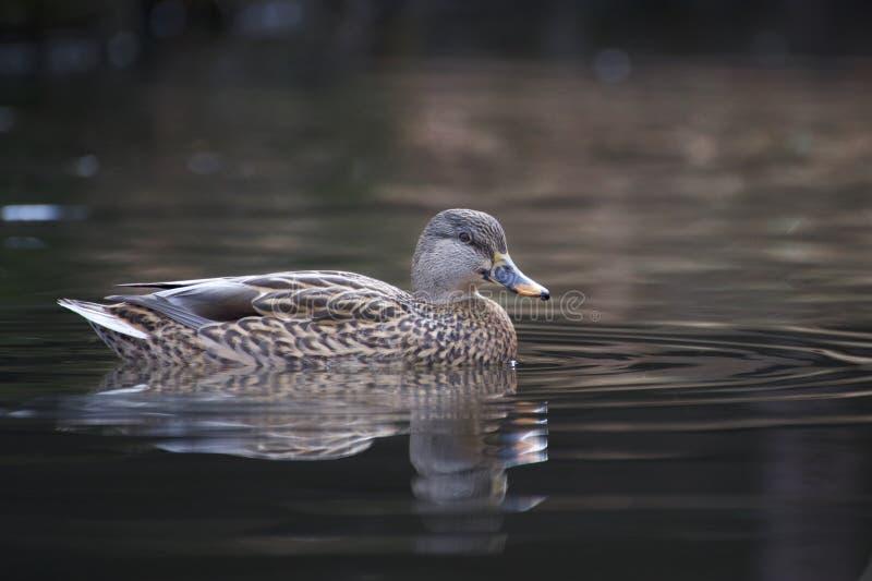 Wilde eendeend die op een vijver zwemmen royalty-vrije stock afbeelding