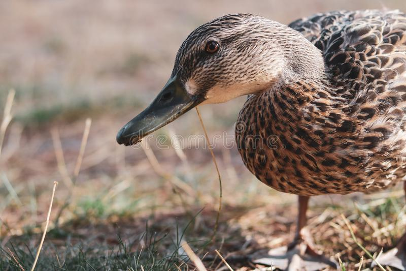 Wilde eendeend die zich op droge gras bevinden royalty-vrije stock afbeelding