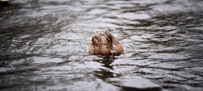 Wilde eendeend in het water stock fotografie