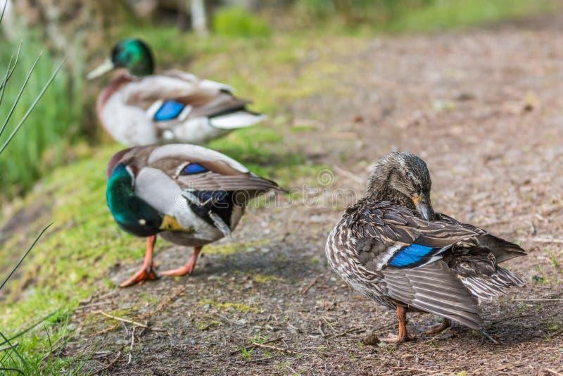Wilde eendeenden Schotland stock fotografie