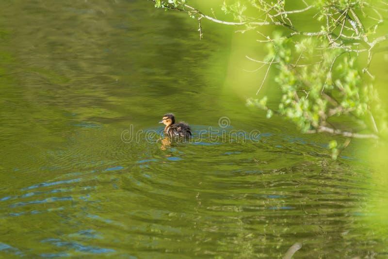 Wilde eendeendje in een Vijver stock foto