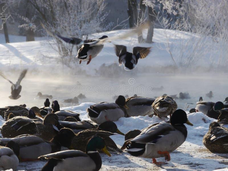 Wilde eenden die in de winter vliegen royalty-vrije stock foto