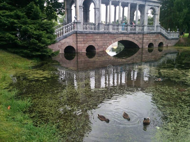 Wilde eenden in Pushkin-Park, St. Petersburg, Rusland stock foto's