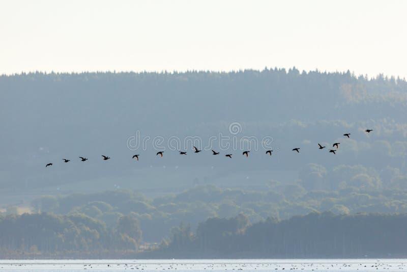 Wilde eendeneenden het vliegen royalty-vrije stock foto