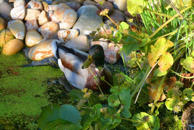 Wilde eendmannetjeseend door poolside royalty-vrije stock afbeeldingen