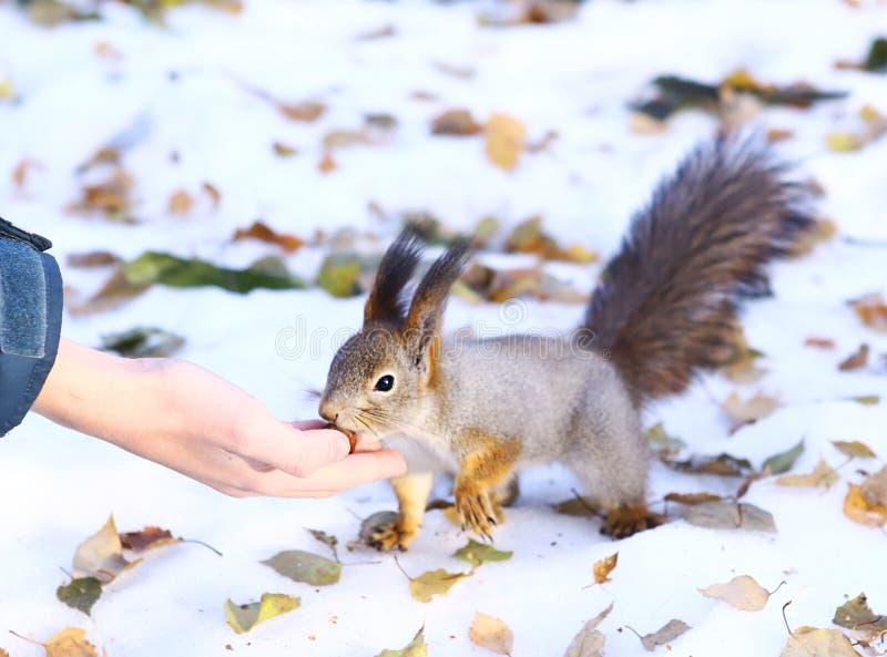 Wilde Eichhörnchennehmenhaselnuß von den menschlichen Händen stockfoto