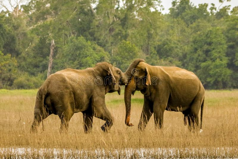 Wilde Elefanten in der Liebe stockfotos
