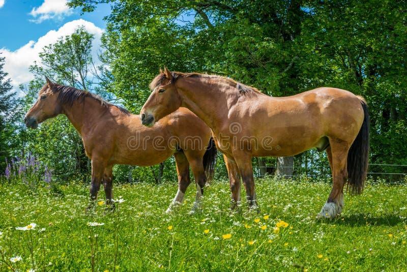 Wilde en vrije paarden die in Zwitsers Jura Alps weiden stock foto
