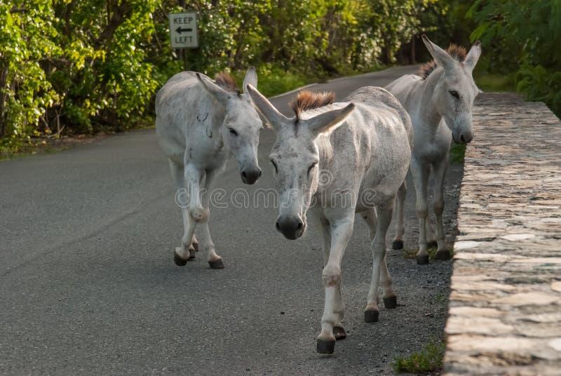 Wilde Esel bitten um Lebensmittel von den Touristen lizenzfreie stockfotos